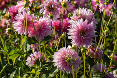Pink dahlia flowers in bloom Royalty Free Stock Photo