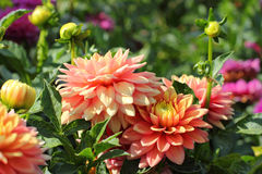 Pink dahlia flowers close-up. Pink dahlia flowers with floral background in a sunny day Royalty Free Stock Photo