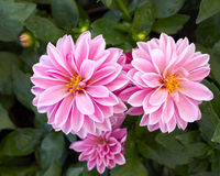 Pink dahlia flowers closeup Stock Photo