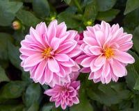 Pink dahlia flowers closeup Stock Photo
