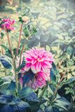 Pink Dahlia flowers in garden, summer outdoor Royalty Free Stock Photo