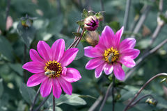 Pink Dahlia Flowers with Honeybee Royalty Free Stock Image