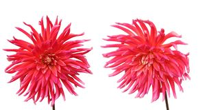 Pink dahlia flowers Stock Image