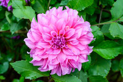 Pink dahlia flowers Royalty Free Stock Image