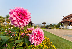 Pink Dahlia Flowers. In Royal Park Ratchapruek at Chiangmai Thailand Royalty Free Stock Photo