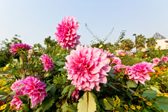 Pink Dahlia Flowers. In Royal Park Ratchapruek at Chiangmai Thailand Stock Photography