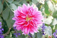 Pink dahlia. Stock Photo