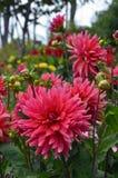 Pink Dahlia Garden Stock Image