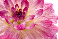 Pink dahlia (georgina) isolated Royalty Free Stock Images