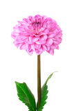 Pink dahlia isolated Stock Images