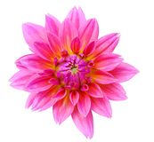 Pink dahlia isolated Royalty Free Stock Photos