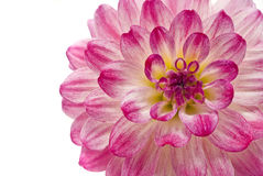 Pink dahlia isolated over white Royalty Free Stock Photography