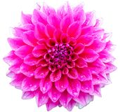 Pink dahlia. Isolated on white background Royalty Free Stock Photos