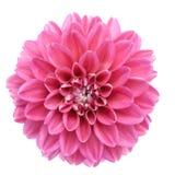 Pink dahlia isolated. On white background Stock Photos