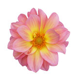 Pink dahlia isolated on white background Royalty Free Stock Images
