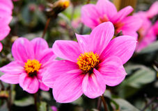 Pink Dahlia - Juliet Stock Photo