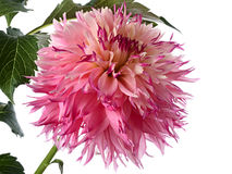 Pink dahlia Royalty Free Stock Photos