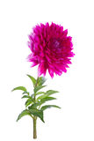 Pink dahlia on a long stalk. With leaves isolated royalty free stock photo