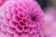 Pink dahlia macro Stock Photos