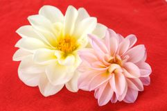 Pink dahlia and napkin Stock Images