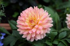 Pink Dahlia pinnata Cav in Garden. Asian Chinese Style Garden with pretty Pink Dahlia pinnata Cav can be found in China, Asia Stock Photography
