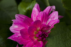 Pink dahlia with rain drops Stock Photo