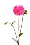 Pink dahlia Stock Photos