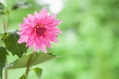 Pink Dahlia Stock Image
