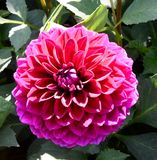A Pink Dahlia Royalty Free Stock Photos