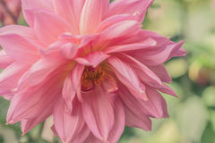 Pink Dahlia. Toned imaged of a pink dahlia in full bloom Stock Images