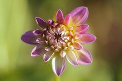 Pink Dahlia - top view Royalty Free Stock Photos