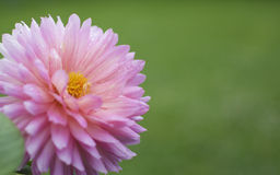 Pink Dahlia. With water on royalty free stock image