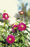 Pink dahlia which is popular late flowering autumn half ha Stock Photo