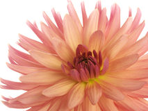 Pink dahlia on white Royalty Free Stock Image