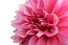 Pink dahlia on white background royalty free stock images