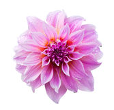 Pink dahlia on white with clipping path Royalty Free Stock Photo