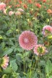 Pink dahlias Stock Photo