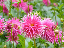 Pink Dahlias. Cluster of large, pink Dahlias with green foliage Royalty Free Stock Photo