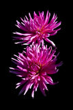 Pink Dahlias on a black background Stock Image