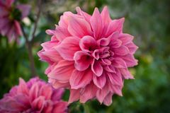 Pink dahlias blooming in the garden in the summer. Royalty Free Stock Image