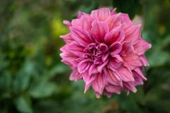 Pink dahlias blooming in the garden in the summer. Royalty Free Stock Photo