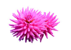 Pink dahlias Royalty Free Stock Photography