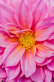 Pink Dahlias Royalty Free Stock Photos