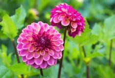 Pink Dahlias Stock Image