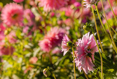 Pink dahlias flowerbed Royalty Free Stock Images