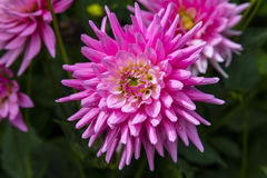 Pink dahlias flowers in a garden. Stock Image