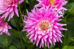 Pink dahlias flowers. Stock Photo