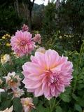 Pink dahlias. In the garden Royalty Free Stock Photos
