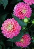 Pink dahlias in garden Stock Photography