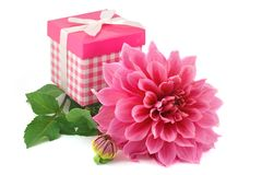 Pink dahlias and gift box Royalty Free Stock Photos
